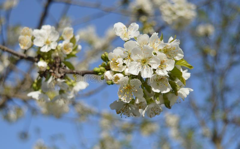 Italian plum Blossoms. White Italian blossoms from a back yard plum tree royalty free stock photos