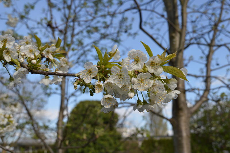 Italian plum Blossoms. White Italian blossoms from a back yard plum tree royalty free stock photo