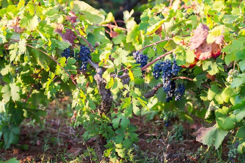 Italian purple grapes on vine in garden, Apulia. Tasty purple grapes on vine in garden royalty free stock photo