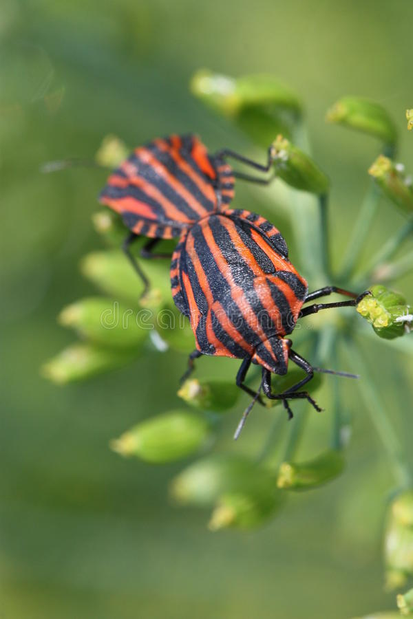 Italian Stink Bug royalty free stock photo