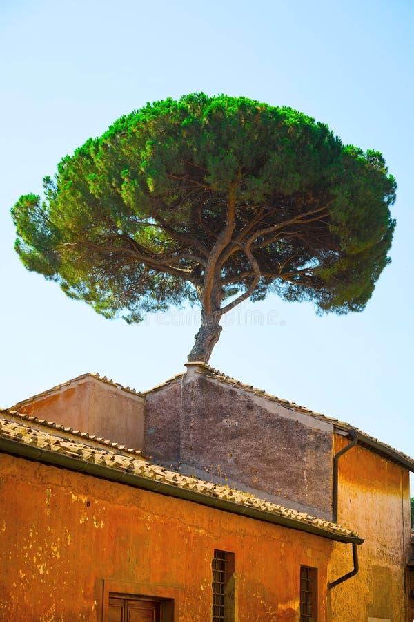 Italian Stone Pines tree - Pinus Pinea - behind old historical building stock photo