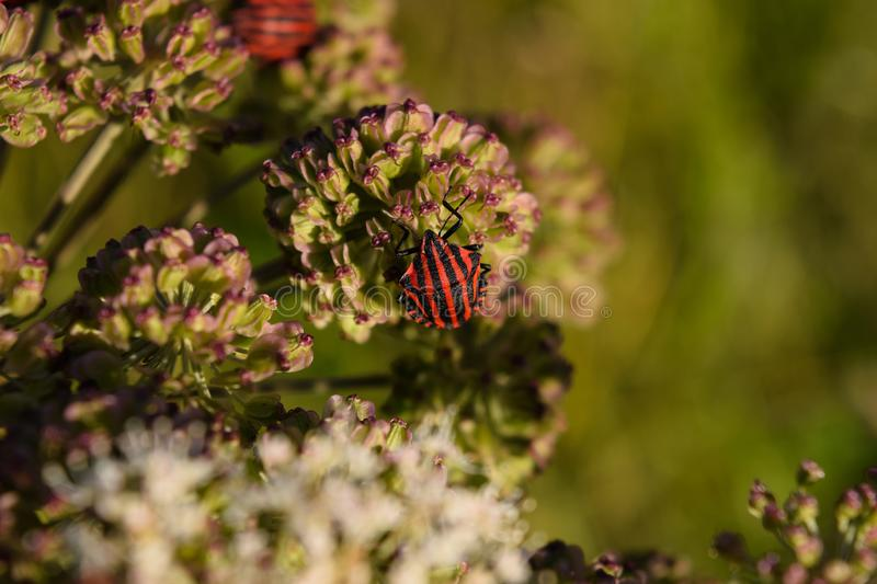 Italian striped bug sitting on Angelica. Graphosoma lineatum, also called Italian striped bug or minstrel bug sitting on a flower umbel of Angelica, an important royalty free stock images