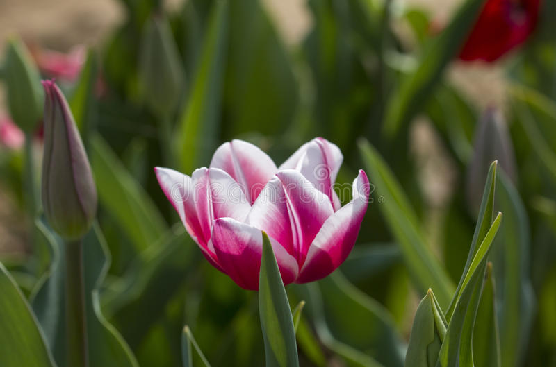 Italian tulips royalty free stock photos
