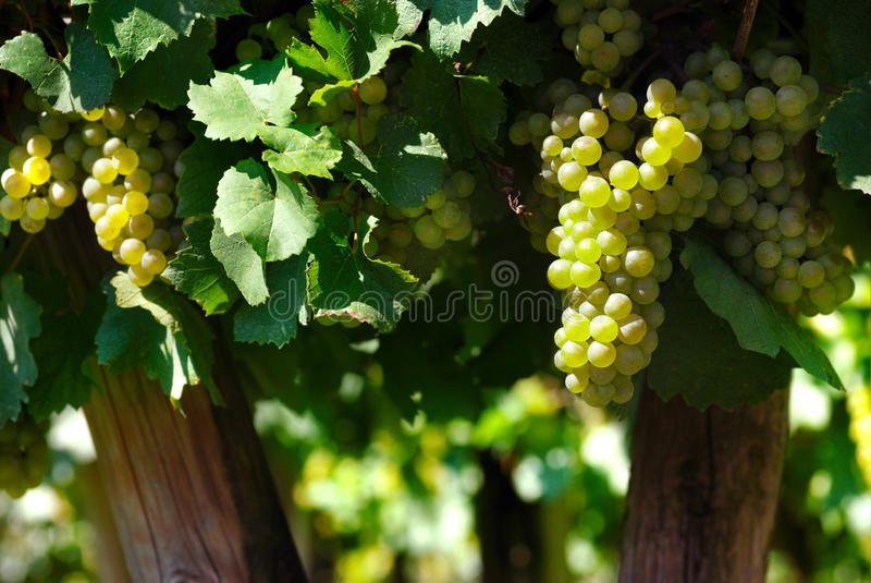 Italian Vineyard Royalty Free Stock Image