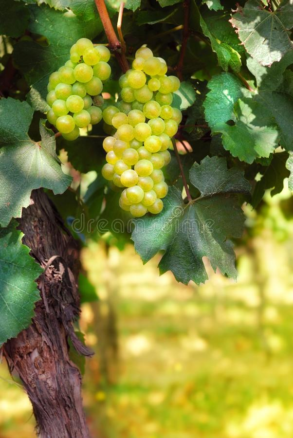 Download Italian vineyard stock image. Image of green, fruit, summer - 26392741