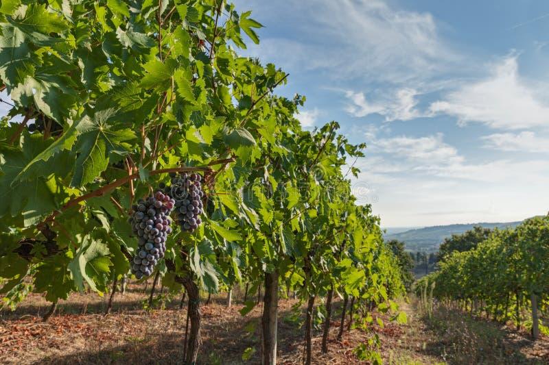 Italian vineyard royalty free stock photo