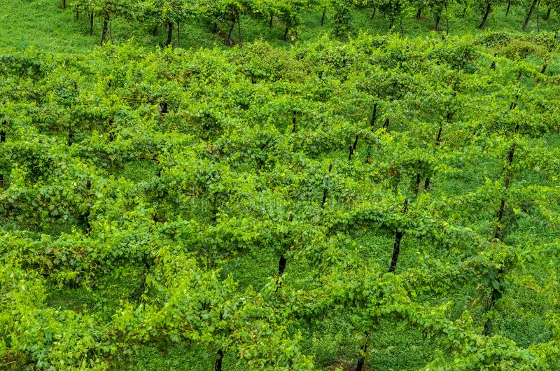 Italian vineyard in the mountains, top view stock image