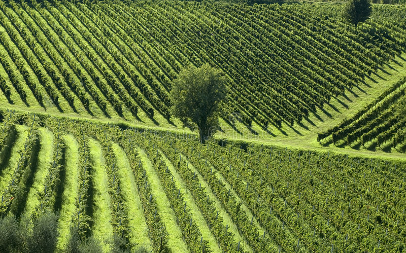 Download Italian Vineyards 5 stock photo. Image of vino, grapes - 1173852