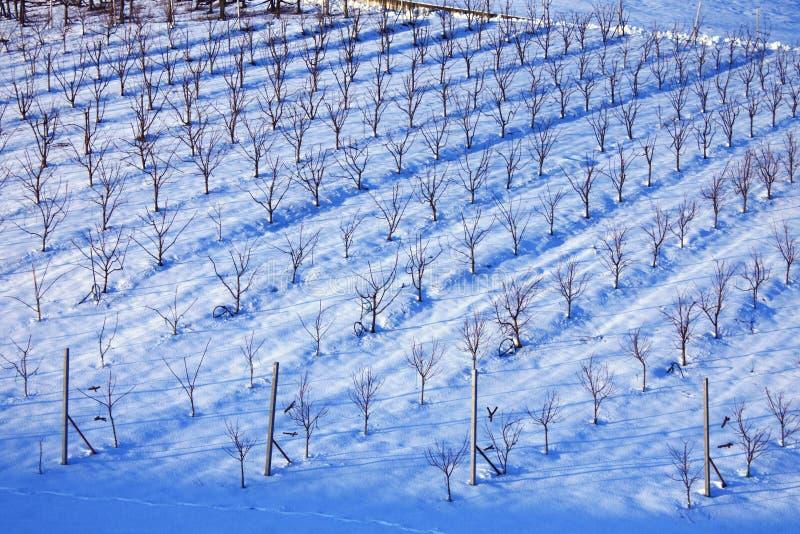 Italian wineyard. Italian Lambrusco's wineyard near Castelvetro, Modena royalty free stock photography