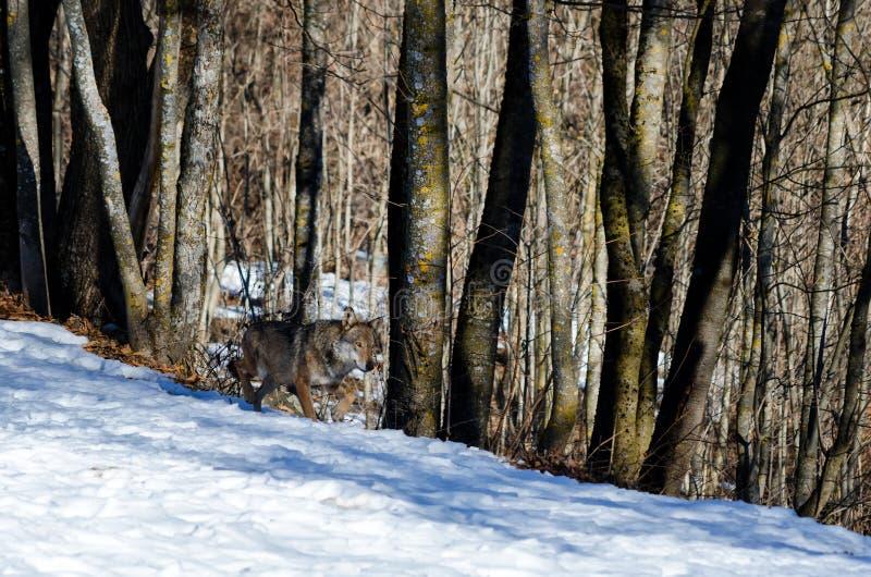 Italian wolf canis lupus italicus stock image