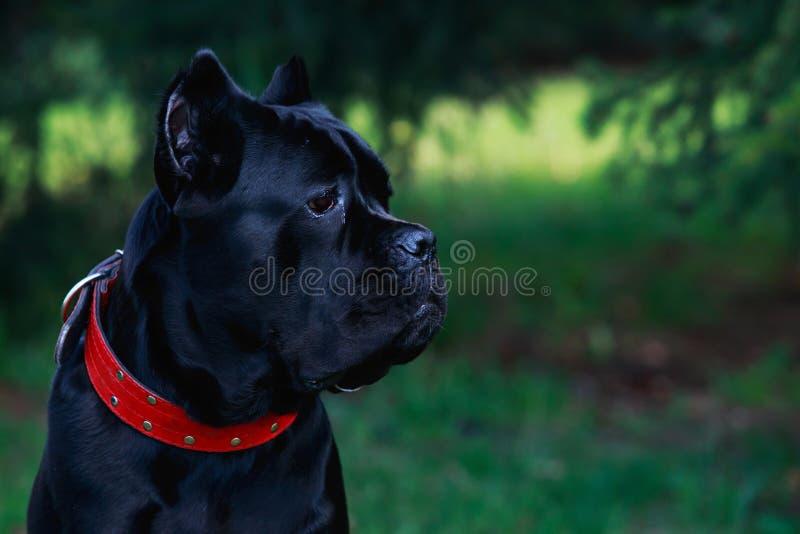 Italiano del corso del bastón de la raza del perro imagen de archivo libre de regalías