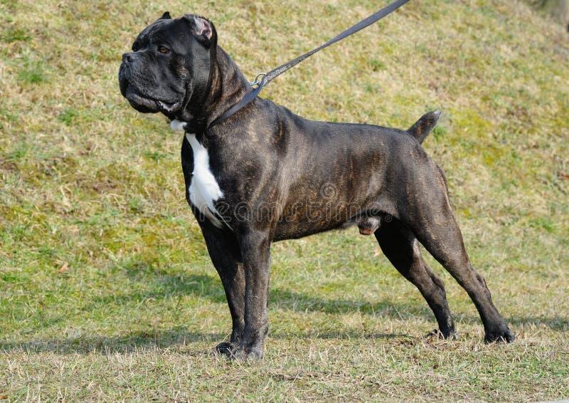 Italiano del corso del bastón del perro fotografía de archivo