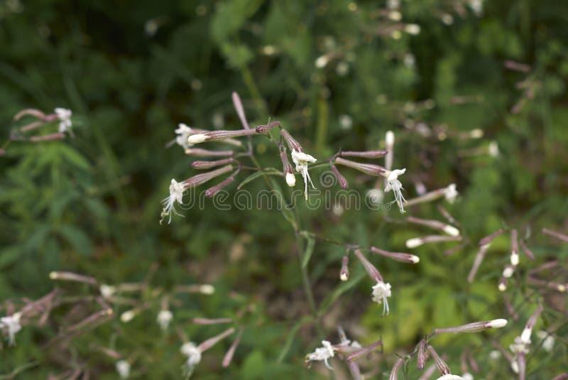 Italica Silene στην άνθιση στοκ εικόνες