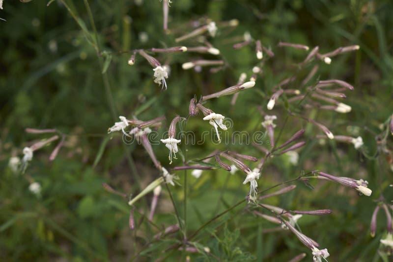 Italica Silene στην άνθιση στοκ φωτογραφία