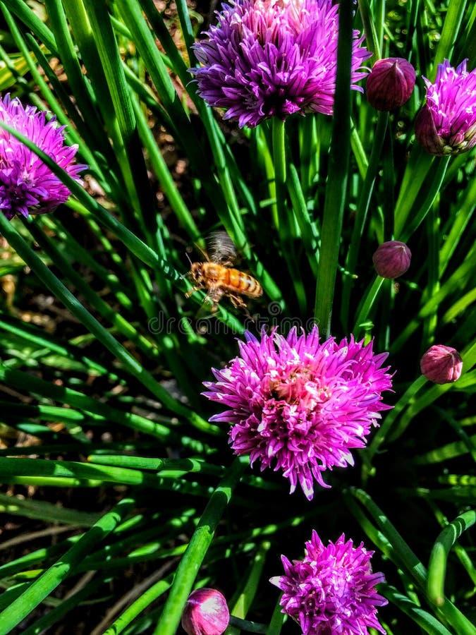 Italien Honey Bee en vol dans des fleurs de ciboulette photo libre de droits