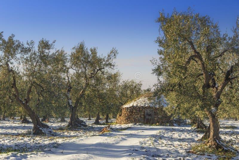 Italien landskap: vinterApulia bygd Snöig fält med olivträd och trullo Typisk exempel av det lantliga Apulian fältet arkivbild