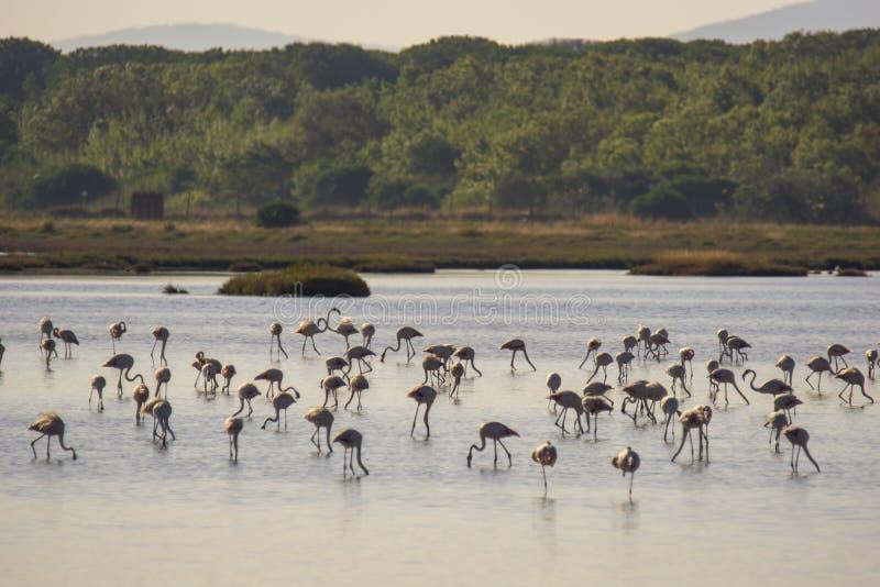 Italien Toscana maremma Castiglione della Pescaia, naturreservat Diaccia Botrona, flamingoskoloni royaltyfri fotografi