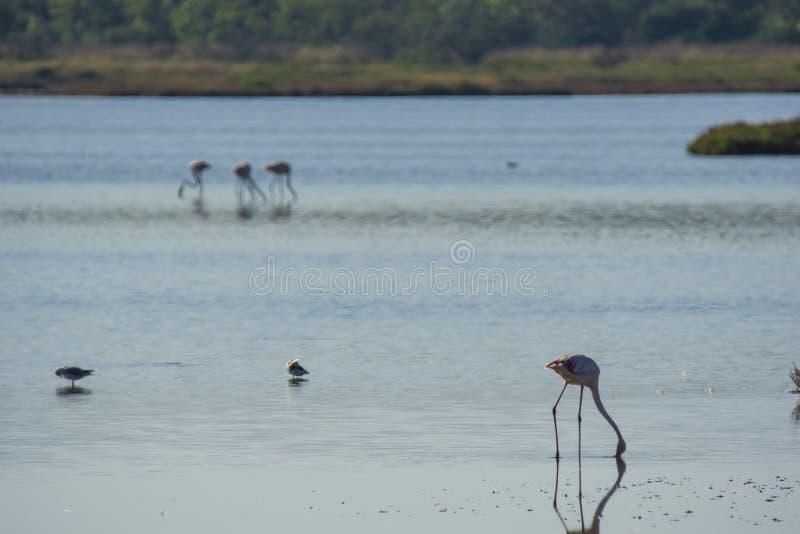 Italien Toscana maremma Castiglione della Pescaia, naturreservat Diaccia Botrona, flamingoskoloni royaltyfri foto