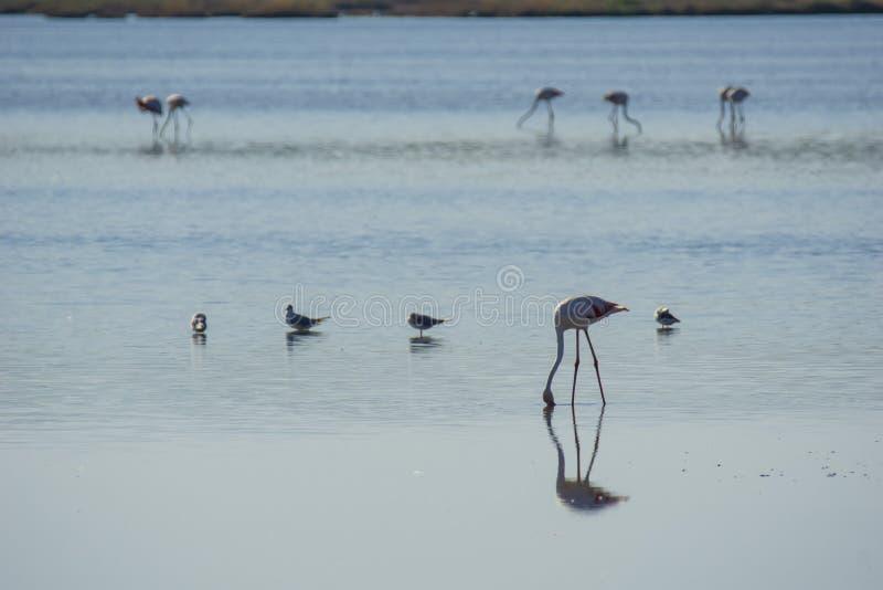 Italien Toscana maremma Castiglione della Pescaia, naturreservat Diaccia Botrona, flamingoskoloni arkivbilder