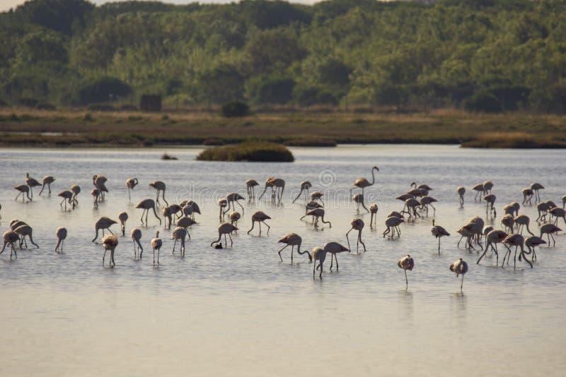 Italien Toscana maremma Castiglione della Pescaia, naturreservat Diaccia Botrona, flamingoskoloni arkivfoto