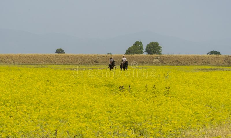 Italien Tuscany Alberese Maremma naturliga Park som kallas Uccellina två cowboyer, korsar ett fält i rapsfrö på hästrygg arkivbild