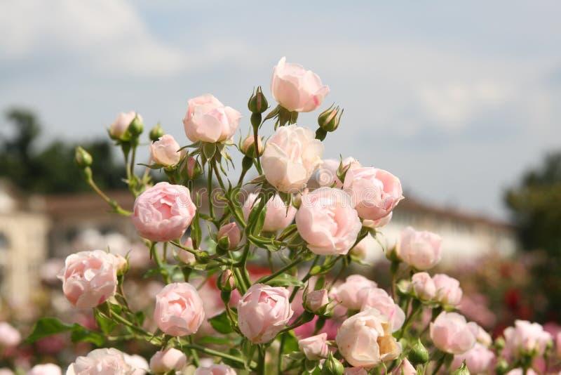 Italienische Rosen stockfoto