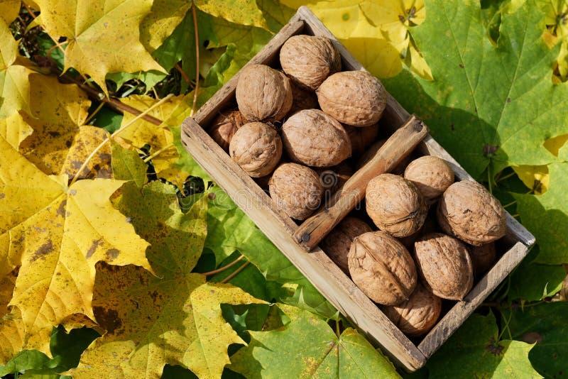 Italienische Walnussfrucht des Fallstilllebens im hölzernen Korb auf Ahornblatthintergrund lizenzfreie stockfotos
