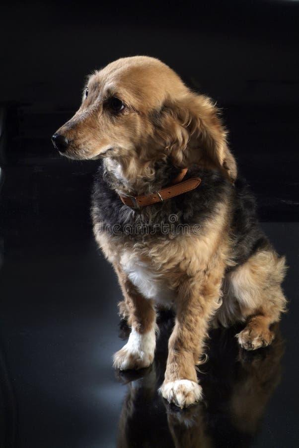 Italienischer nicht reinrassiger Hund 5964 lizenzfreie stockfotos