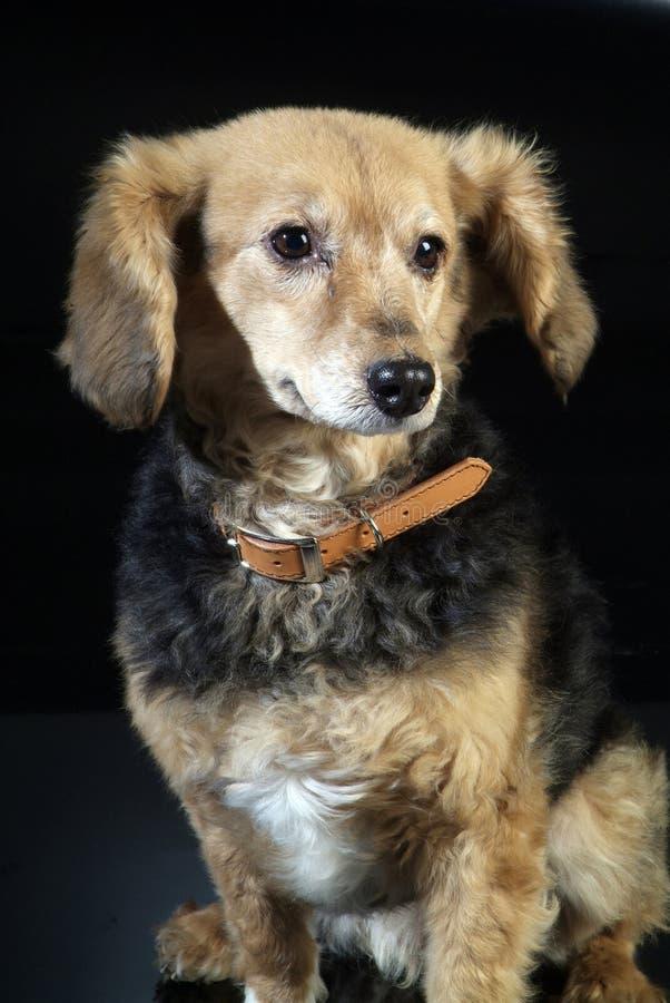Italienischer nicht reinrassiger Hund 5972 lizenzfreies stockbild