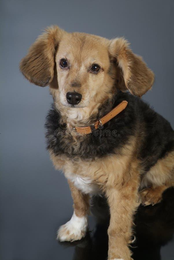 Italienischer nicht reinrassiger Hund 5983 lizenzfreie stockfotografie