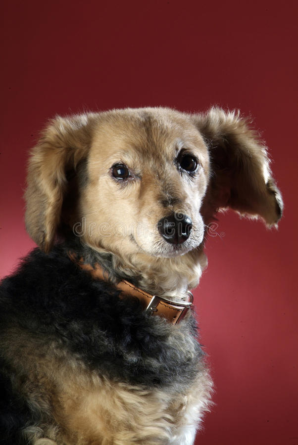 Italienischer nicht reinrassiger Hund 5994 stockfoto