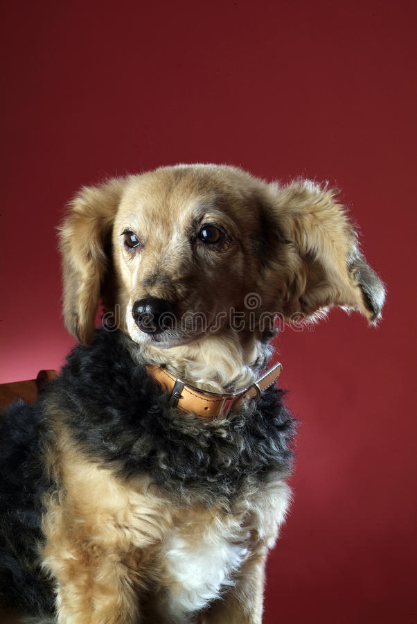 Italienischer nicht reinrassiger Hund 5999 stockbilder