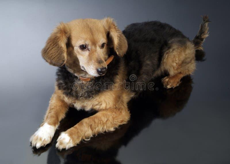 Italienischer nicht reinrassiger Hund 5985 stockbilder