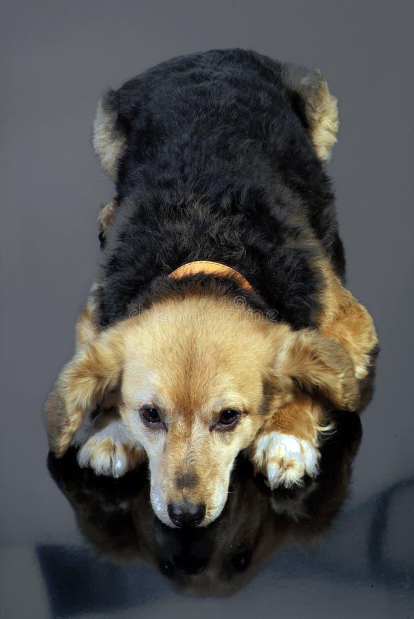 Italienischer nicht reinrassiger Hund 5986 stockfotos