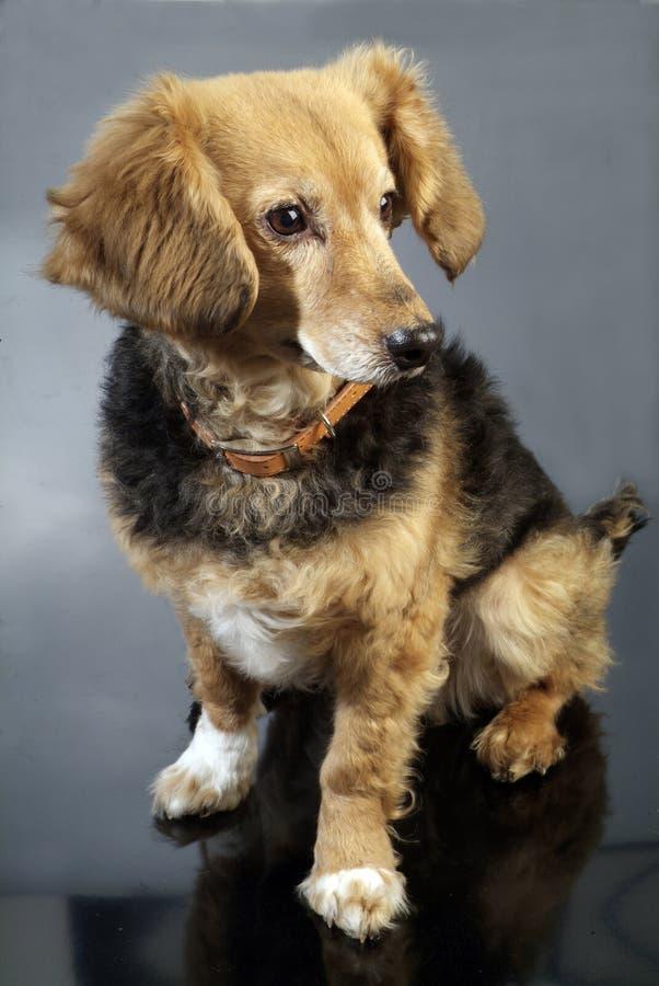 Italienischer nicht reinrassiger Hund 5987 lizenzfreies stockbild