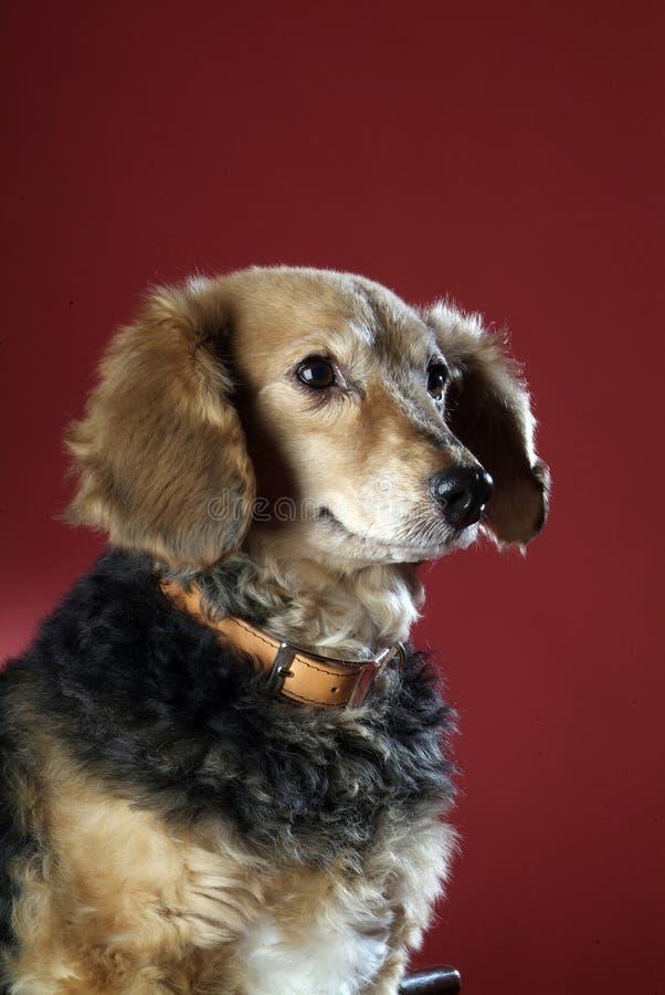 Italienischer nicht reinrassiger Hund 5997 lizenzfreies stockbild