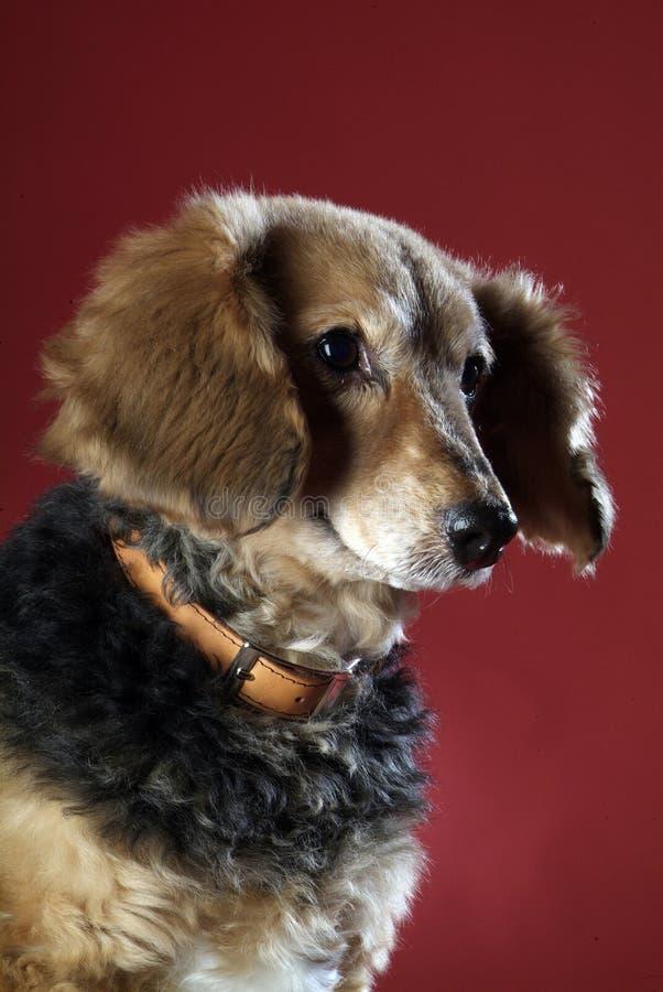 Italienischer nicht reinrassiger Hund 5996 lizenzfreies stockfoto
