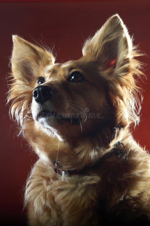 Italienischer nicht reinrassiger Hund 2509 lizenzfreies stockbild
