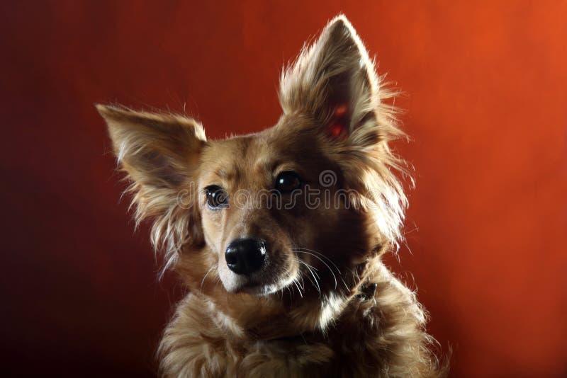 Italienischer nicht reinrassiger Hund 2513 stockbild