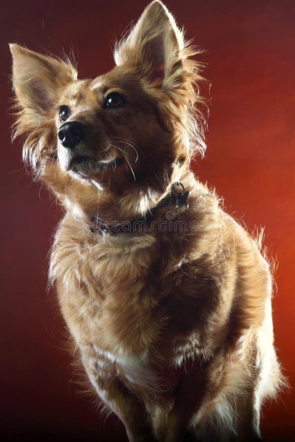 Italienischer nicht reinrassiger Hund 2523 lizenzfreie stockfotos