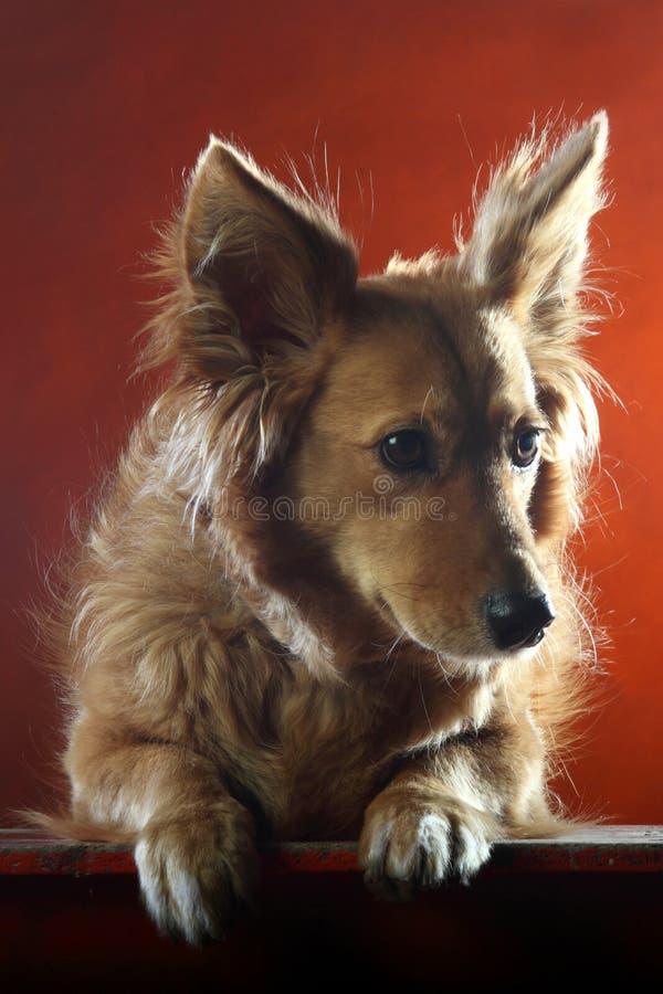 Italienischer nicht reinrassiger Hund 2519 stockbilder