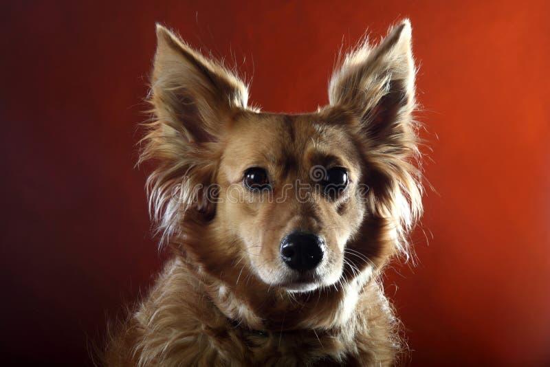Italienischer nicht reinrassiger Hund 2512 lizenzfreies stockbild