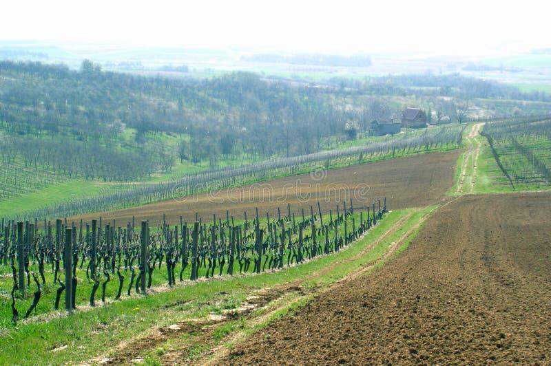 Italienischer Weinberg lizenzfreies stockbild