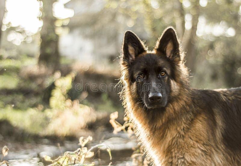 Italienischer Windhund stockbilder
