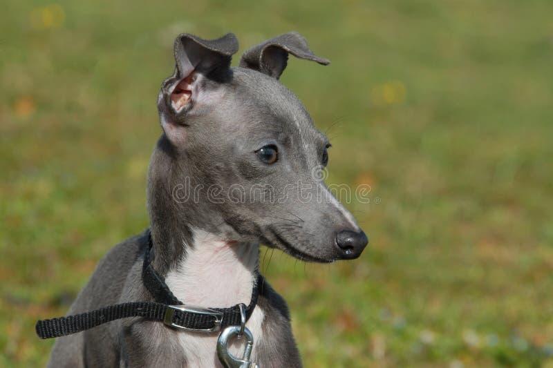 Italienischer Windhund des Welpen stockbilder