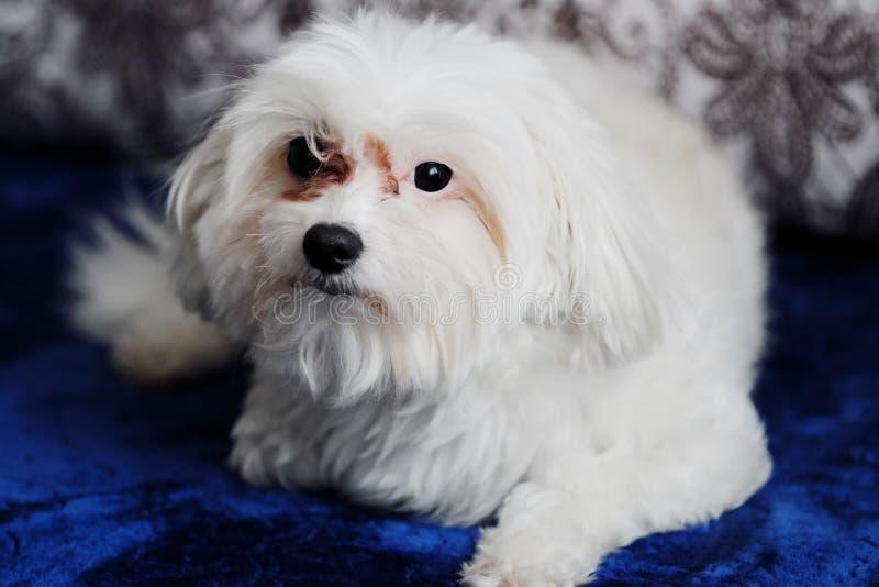 Italiensk maltesisk hund hemma på soffan arkivfoto