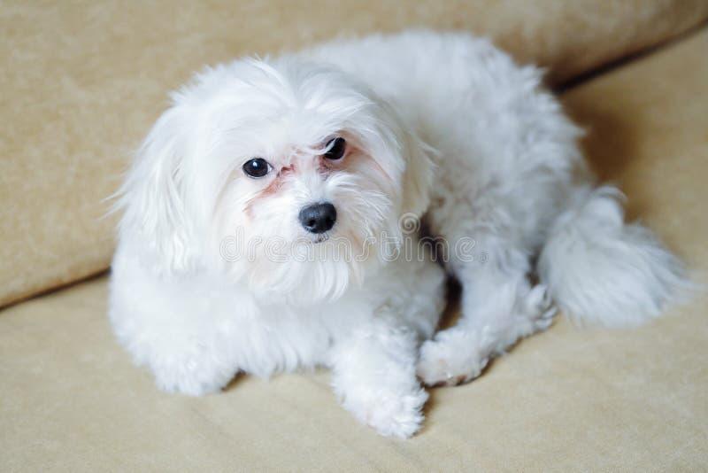 Italiensk maltesisk hund hemma på soffan arkivfoton