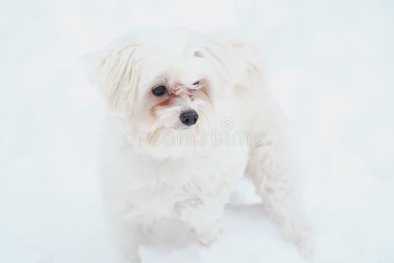 Italiensk maltesisk hund på vintergatan i snön royaltyfri bild