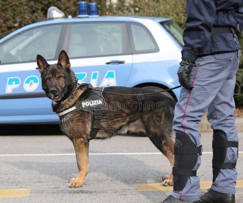Italiensk polishund, medan patrullera stadsgatorna för royaltyfri bild