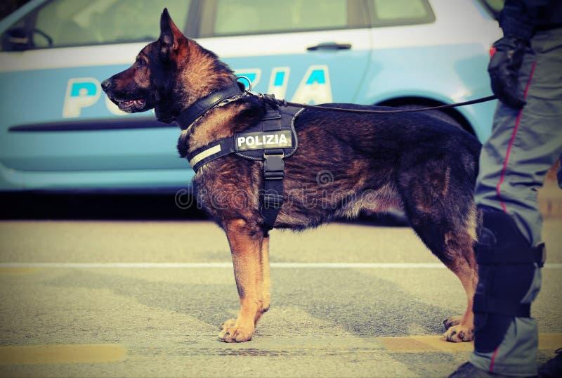 Italiensk polishund, medan patrullera stadsgatorna för arkivbild